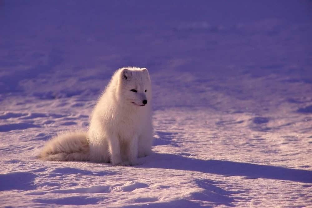 sneeuwwitte poolvos spotten